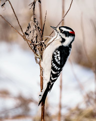 Downy Woodpecker - 9389 (RG Rutkay) Tags: nature rural downywoodpecker bird winter