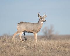Mule Deer-19 (trdunn) Tags: muledeer colorado weldcounty wildlife animal easternplains nature buck antlers fall rut