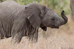 Sad statistics !!! (leendert3) Tags: leonmolenaar southafrica krugernationalpark wildlife nature mammals africanelephant ngc npc