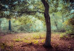 Twisted (Ingeborg Ruyken) Tags: 2018 autumn october woods berlicum fall flickr herfst ochtend morning wamberg tree forest oktober natuurfotografie 500pxs instagram shertogenbosch bos