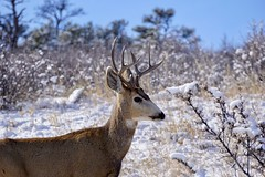 Buck At Carter Lake (mohsenil@ymail.com1) Tags: buck stag deer colorado wildlife animals animal winter february snow antlers