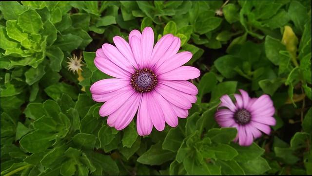Обои Цветочки, Фиолетовые цветы, Purple flowers картинки на рабочий стол, раздел цветы - скачать