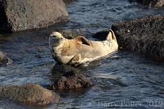Soaking up the sun (Barry Potter (EdenMedia)) Tags: barrypotter edenmedia nikon d7200 ravenscar seals