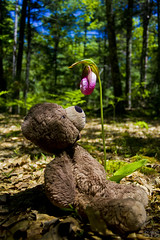 Photo (Adventures With Teddy) Tags: teddy adventures with photographers tumblr original flower woods travel blog international bug bear withteddy adventureswithteddy cute but really ferocious ladyslipper michigan lnt leave no trace