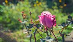 Colors (Pepenera) Tags: flower fiore fleur flowers flor colors co