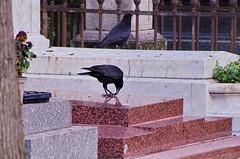 132 - Paris - Février 2019 - cimetière de Montmartre (paspog) Tags: paris france cemetery cimetière froedhof cimetièredemontmartre montmartre février februar february 2019 corbeau raven crow