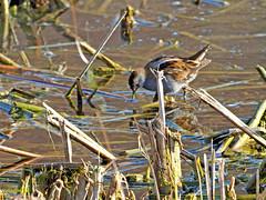 Polluela bastarda (Porzana parva) (5) (eb3alfmiguel) Tags: aves acuaticas gruiformes rallidae polluela bastarda porzana parva