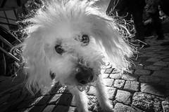 dedicated to Hans (Straatmoment) (Hendrik Lohmann) Tags: streetphotography dog dogs urban city blackandwhite bnw bw duesseldorf closeup wideangle