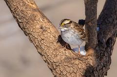 White-throated Sparrow (Lynn Tweedie) Tags: wood beak tail wing canon ngc animal 7dmarkii missouri bird eye sigma150600mmf563dgoshsm feathers eos tree whitethroatedsparrow branch