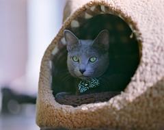 cat (428sr) Tags: pentax67 pro400h 6×7 120 fujifilm cat russianblue neko ねこ 猫