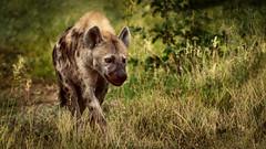 Hyène dans le Kruger (Nat_L2_photographies) Tags: safari gamedrive kruger afriquedusud animaux wildlife southafrica hyène