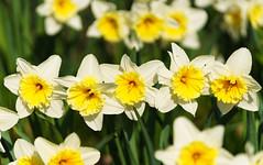 Narzissen (KaAuenwasser) Tags: narzissen osterglocken blumen blüten pflanzen frühling garten beet anlage park licht frühjahr märz neu