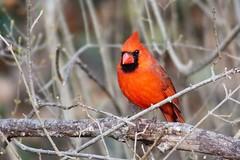 Northern Cardinal Male (Anne Ahearne) Tags: wild animal nature wildlife bird red cardinal northerncardinal songbird birdwatching