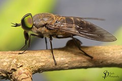 Australian Common March Fly (m)- Tabanus australicus (Spohr Photography) Tags: spohrphotography nikon d500 queensland australia wildlife animals insectsmacro macro