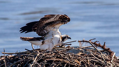 Ospreys Mean Spring (Me in ME) Tags: bath fauna maine osprey nest