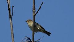 Chiff Chaff (hedgehoggarden1) Tags: chiffchaff warbler bird wildlife nature creature sonycybershot animal norfolk whitlinghamcountrypark eastanglia uk birds rspb sony sky