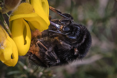 Bee (Spenner_BFC) Tags: bees hornets insects