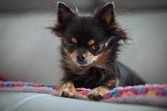 ChiChi (Arnez_) Tags: dogs pets chihuahua sony gm 85 animals portrait