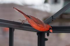 Cardinal rouge en vol - Northern Cardinal - Québec, Canada - 0029 (rivai56) Tags: oiseau bird nature sony tamron150600 québec canada a77 cardinalrougeenvol northerncardinal 0029 cardinal rouge en piquée