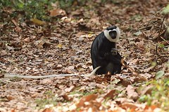White-thighed colobus, Boabeng-Fiema Monkey Sanctuary, Ghana (inyathi) Tags: westafrica ghana africanwildlife africananimals monkeys primates colobusmonkeys whitethighedcolobus geoffroyspiedcolobus geoffroysblackandwhitecolobus colobusvellerosus endangeredspecies boabengfiemamonkeysanctuary africa