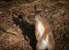A nosey red squirrel (vickyouten) Tags: redsquirrel squirrel nature wildlife nikon nikond7200 nikonphotography sigma150600mm formbybeach formby liverpool vickyouten