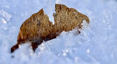 Frosty (u. Scheele) Tags: macro makro macromondays mm hmm plant pflanze planta pflanzlich icecrystal natur nature outdoor canon canoneos80d closeshot closeup eos80d eos eiskristall eiskristalle eis digital tamron frost frosty ice nahaufnahme maple ahorn