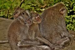INDONESIEN, Bali ,unterwegs in Ubud , im Affenwald,  17926/11146 (roba66) Tags: bali urlaub reisen travel explore voyages rundreise visit tourism roba66 asien asia indonesien indonesia insel island île insulaire isla ubud affenwald padangtegal monkeyforest monkey affen javaneraffen makaken macaca wild macaque tier tiere animal animals creature baboon