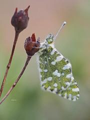 Euchloe carmeri (diegocon1964) Tags: euchloecarmeri lepidoptera papilionoidea pieridae pierinae anthocharini euchloe crameri