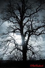 Tree Flare (red.richard) Tags: tree silhouette bw monochrome nikon d800 scotland flora