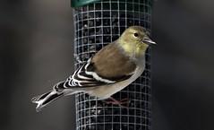American Goldfinch (kearneyjoe) Tags: american goldfinch