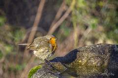 Robin at his bath (pollylew) Tags: