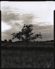 Tree (m.dahlke) Tags: film blackandwhite large format toyo ilford fp4 darkroom earl rowe provincial park ontario canada split tone sepia