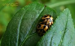 Bug love (A. K. Hombre) Tags: macro minibeast beetle canon powershotsx530hs outdoor outside nature natur naturaleza naturephotography natural allnatural animal fauna garden dof depthoffield kahel variableladybird coelophorainaequalis insect invertebrate coccinellidae