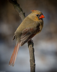 Pensive (Fred Roe) Tags: nikond7100 nikonafsnikkor200500mm156eed nature naturephotography national animals birds birding birdwatching birdwatcher cardinal northerncardinal cardinaliscardinalis outside colors flickr peacevalleypark