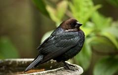 Brown-headed cowbird (male) (schreckpeter45) Tags: cowbird brownheadedcowbird
