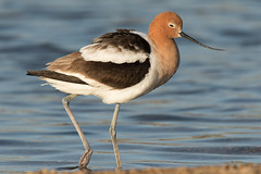 American Avocet (female) (Jeremy Meyer) Tags: americanavocet american avocet shorebird bird wisconsin