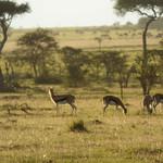 Thomson's gazelles in Masai Mara thumbnail