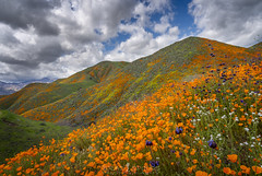 The Hills are Alive (ihikesandiego) Tags: walker canyon poppy fields lake elsinore soutern california supe bloom flowers
