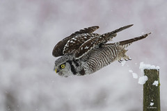Northern Hawk Owl / Chouette épervière (shimmer5641) Tags: surniaulula northernhawkowl chouetteépervière hawkowl lechuzagavilana snow birdsofbritishcolumbia birdsofnorthamerica raptor birdofprey birdoftheborealforest