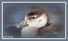 Egyptian Goose Chick (maryimackins) Tags: egyptian goose gosling wildlife kent mary mackins