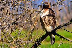 Red-tailed_Hawk_05 (DonBantumPhotography.com) Tags: wildlife nature animals birds donbantumcom donbantumphotographycom redtailedhawk raptor birdsofprey hawk