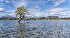 A plant out of place (David Feuerhelm) Tags: landscape tree mountains nikkor wideangle lake sky clouds serene wanaka lakewanaka centralotago southisland newzealand nikon d750 2470mmf28