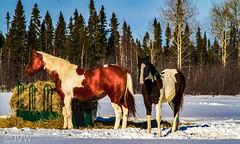 Mother & Colt (NetReacher Image Studios) Tags: colt horses horse equine equines winterequines winterequine northernontario northernontariocanada northern