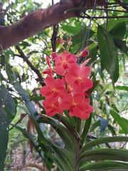 Vanda sp. Orchidaceae - orange vanda orchid 12 (SierraSunrise) Tags: epiphytes esarn flowers hanging hangingplants isaan nongkhai orange orchidaceae orchids phonphisai plants thailand vanda