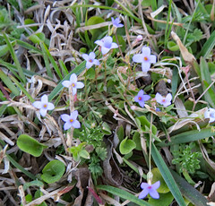 Tiny Flowers In The Grass. (dccradio) Tags: lumberton nc northcarolina robesoncounty outdoor outdoors outside march spring springtime nature natural tuesday tuesdayevening evening goodevening canon powershot elph 520hs tiny small flower floral flowers grass lawn ground