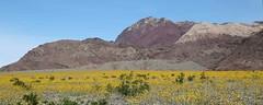 Superbloom in Death Valley (Ron Wolf) Tags: asteraceae deathvalleynationalpark desertgold desertsunflower geraeacanescens nationalpark botanical botany flower landscape nature wildflower inyocounty california explore