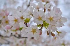 Sakura... 🌸 (Mona Zimba) Tags: spring cherry blossom sakura nature flowers branch