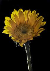 Sunflower With Back Lighting (Bill Gracey 23 Million Views) Tags: sunflower flower flor fleur backlit backlighting bareflash yongnuo yongnuorf603n homestudio blackbackground lastoliteezbox softbox offcameraflash tabletopphotography macrolens floralphotography lakeside