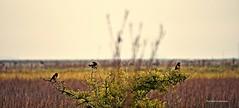 Somos tres - Serie 2- (Aprehendiz-Ana Lía) Tags: argentina santaclara nahuelruca aves tres pájaros canto alegría trino campo pampa estancia fotería imagen analialarroude horizonte línea pastizales otoño cielo bird flickr nikon sky verde color colores naturaleza nature