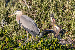 Great Blue Heron with 2 Chicks & Fishing Line on Leg (dbadair) Tags: outdoor nature wildlife 7dm2 ef100400mm canon florida bird fl bif flight